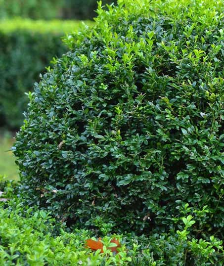 Perkins Landscaping  Shrubs & Hedges