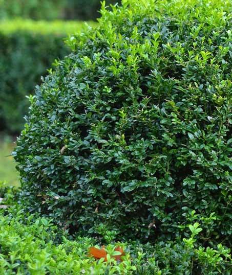 Perkins Landscaping  Shrubs & Hedges